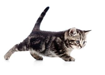 funny walking black cat kitten isolated on white