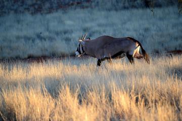 Gemsbok Oryx gazella Orice
