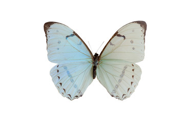 morpho epistrophu. Butterfly. Isolated on white background