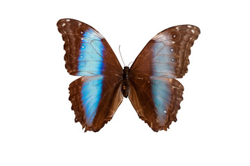 Morpho Daidemia. Butterfly. Isolated on white background