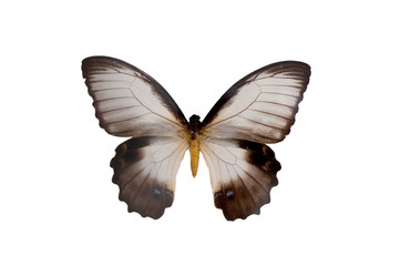 Papilio Aegeus Ormenus. Butterfly. Isolated on white background