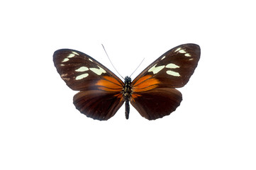 Heliconius Burneyi. Butterfly. Isolated on white background