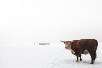 Highland cattle in a foggy white winter scene