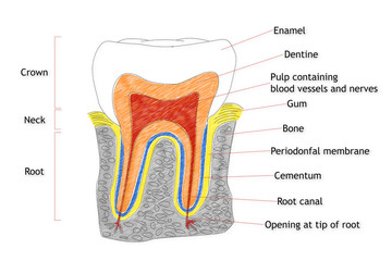 Human Tooth structure animation illustration