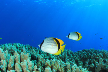 Pair of Lined Butterflyfish