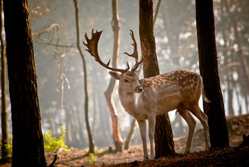 Wild deer in the morning