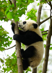 Wall Mural - Giant panda baby over the tree