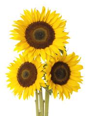 Three sunflower on white background