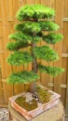 dwarf cedar