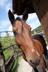 Brown friendly horse