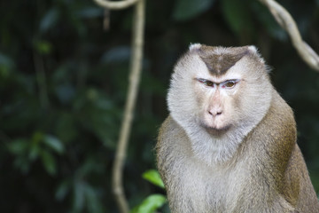 Pig-tailed macaque at Khao Yai national park