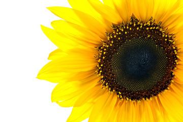 sun flower closeup