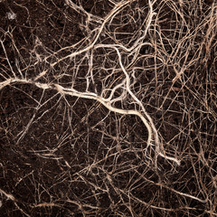 Roots in a soil