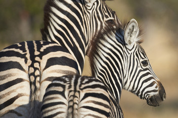 Adult and young zebra