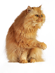 The red Persian cat pulls the right paw