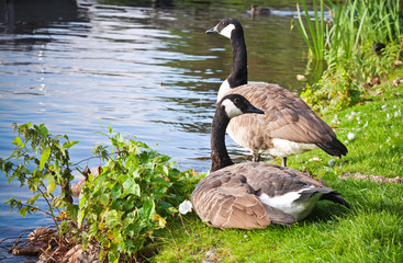 Two wild Canada goose on the coast of Saimaa lake in Finland