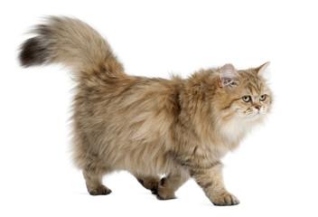 British Longhair cat, 4 months old
