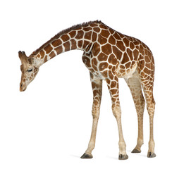 Photo sur Aluminium Girafe Somali Giraffe, commonly known as Reticulated Giraffe