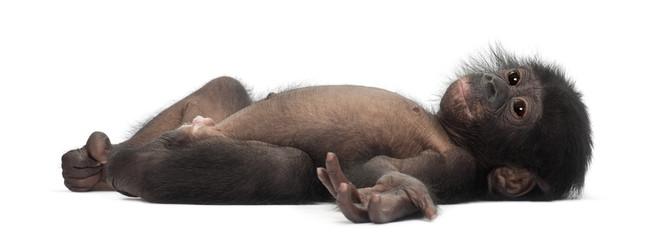 Fotorolgordijn Aap Baby bonobo, Pan paniscus, 4 months old