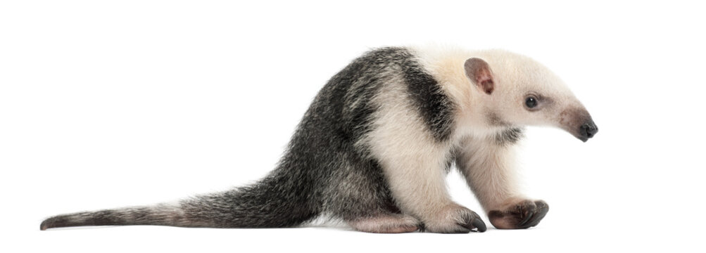 Tamandua, Tamandua tetradactyla, 3 months old