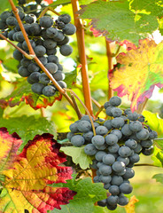 Fototapete - Autumn: Ripe Purple Grapes