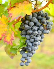 Fototapete - Farben des Herbstes: blaue Traube mit buntem Blatt