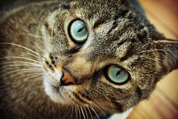 Chat aux yeux bleu-vert