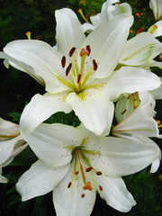 Photo sur cadre textile Fleur de lis beautiful white lilies