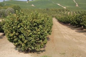 Hazelnut tree on the Langhe region Piedmont Italy