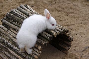 Kaninchen (Albino)