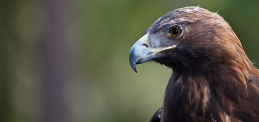 Golden Eagle Searching for Prey