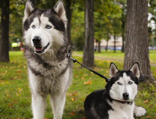 two husky dog outside