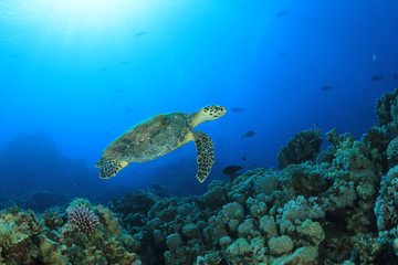 Hawksbill Turtle swims over Red Sea reef