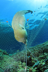 Environmental problem - eel killed by fisherman's gill net