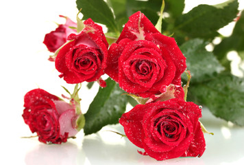 Beautiful vinous roses on white background close-up
