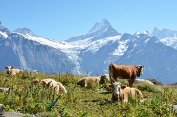Wall Mural - Cows on the Alpine meadow. Jungfrau region, Switzerland