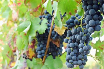 Fototapete - Herbst: blaue Trauben
