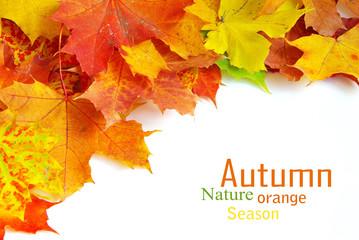 autumn maple leafs