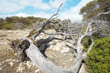 Baumstamm bei Es Talaier - Menorca - Spanien