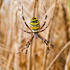 Yellow-black spider in her spiderweb