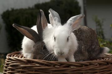 Obraz króliki - fototapety do salonu