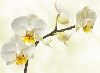 blossoming orchids