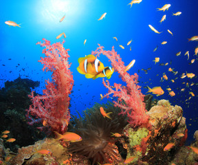 Clownfish and Corals in Red Sea, Egypt