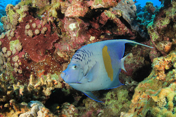 Yellowbar Angelfish