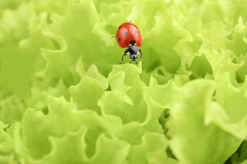 Red ladybug on green leaves