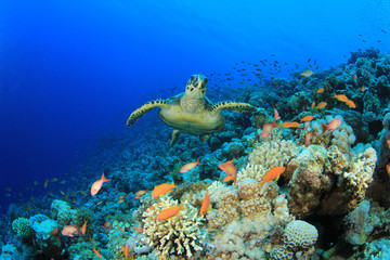 Sea Turtle and Coral Reef