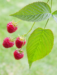 red raspberry on a branch
