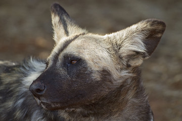 Portrait of African Wild dog; Lycaon pictus