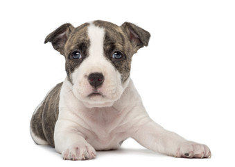 Portrait of American Staffordshire Terrier Puppy lying