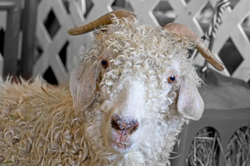 A curly white angora fiber goat facing forward
